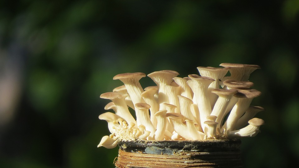Trick to pick: How to differentiate 7 look alike oyster mushrooms from their poisonous variety!!